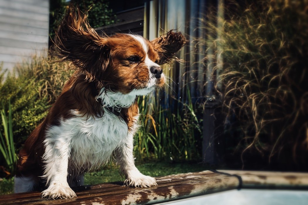 ear infection symptoms causes and treatment for dogs and cats