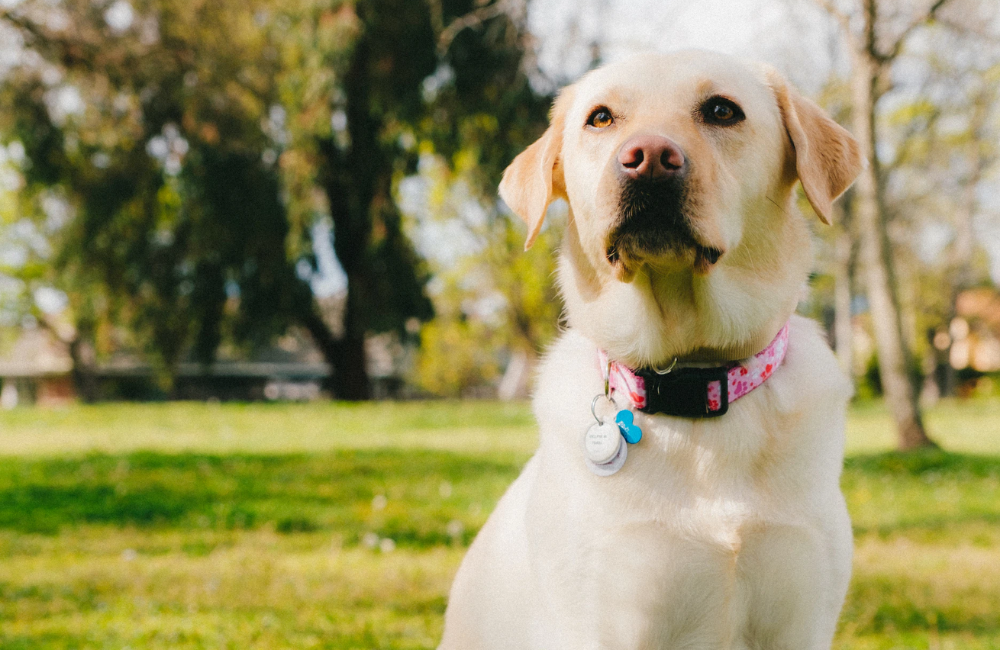 causes and treatment for urinary incontinence in dogs